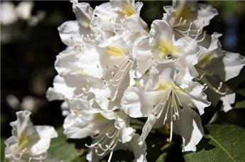 Rhododendron Madame Masson 60 70 Pot C10