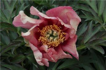 Paeonia itoh Old Rose Dandy P23