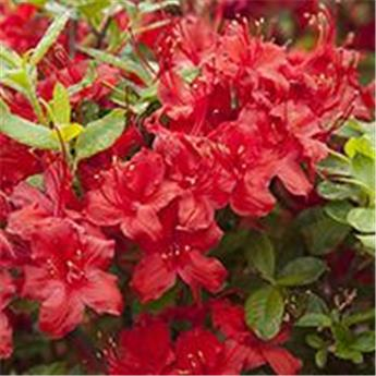 Azalea knaphill Electric Lights Red 80 100 cm