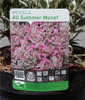 Weigela florida All Summer® Monet(PBR) Pot C3.6