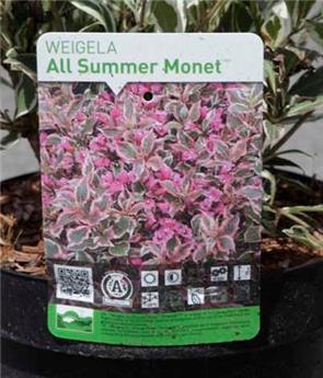 Weigelia florida All Summer® Monet(PBR) Pot C3.6