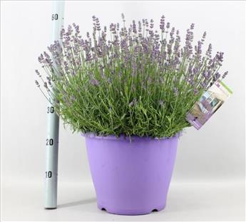 Lavandula angustifolia Essence Purple P32
