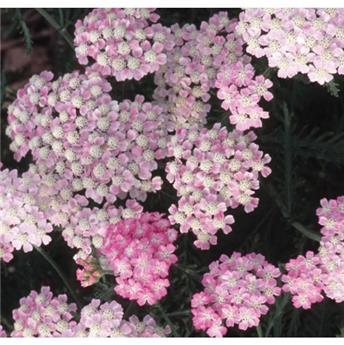 Achillea millefolium Tutti Frutti Wonderful Wampee Pot XXL C4