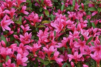 Azalea nakaharae Pink cascade  Pot C3 ** Rare: azalée couvre-sol ***