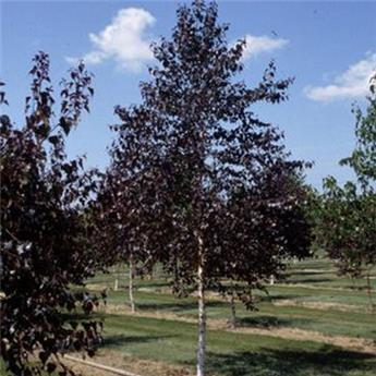 Betula pendula Crimson Frost 150 200 Pot C7.5