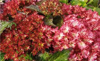 Hydrangea mac Charming Julia Pot C5