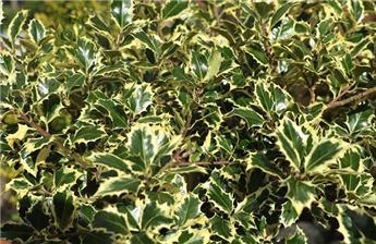 Ilex aquifolium Argenteo Marginata 80 100 Pot C7.5