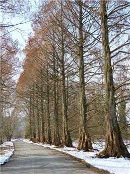 Metasequoia glyptostroboides 80 100 Pot C3.5