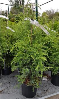 Juniperus communis Suecica Pot C3