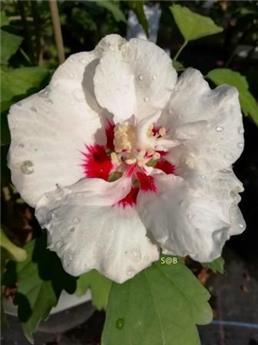 Hibiscus syriacus Speciosus Tige 40 cm C3.6L
