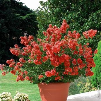 Lagerstroemia indica Red Imperator 50 60 cm Pot C4