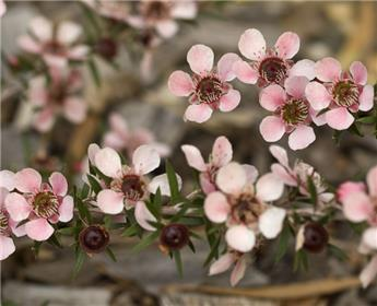 Leptospermum Scoparium Nicholsii Pot C2
