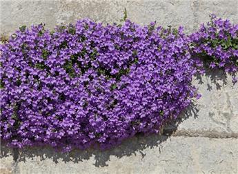 Campanula portenschlagiana Pot carré 11 cm