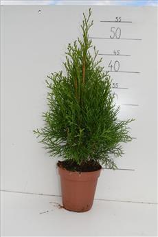 Thuja occ Smaragd PYRAMIDE Pot P13