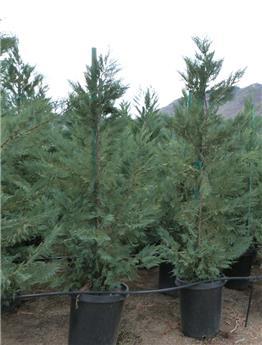 Cupressocyparis leylandii 300 350 Pot C45 XTRA